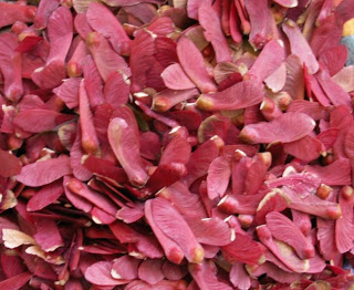 Japanese_maple_seedpile