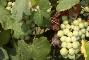 white concord grapes for jam recipe